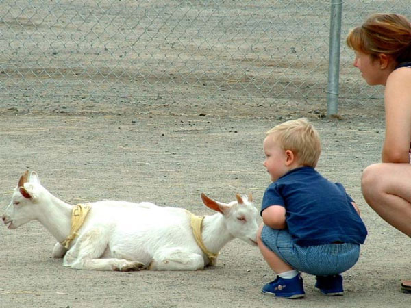 6. This goat that somehow has two heads...