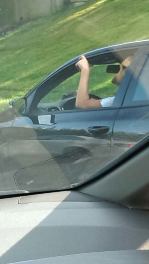 11. This dog who is disgruntled to be stuck in traffic.