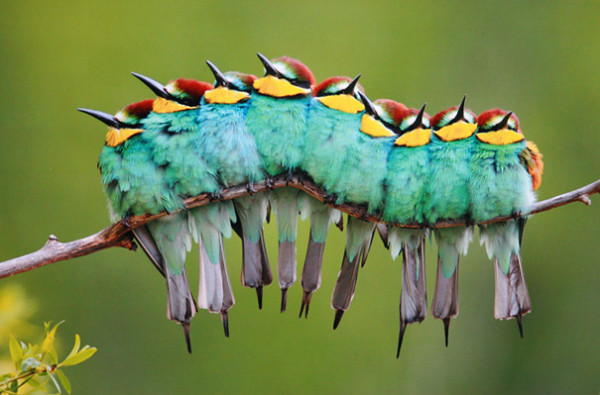 3. This caterpillar made up of European Bee-eaters!