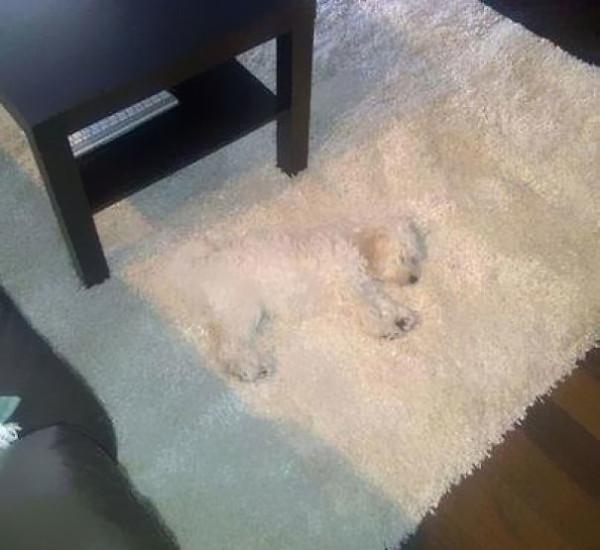 21. This rug-dog.