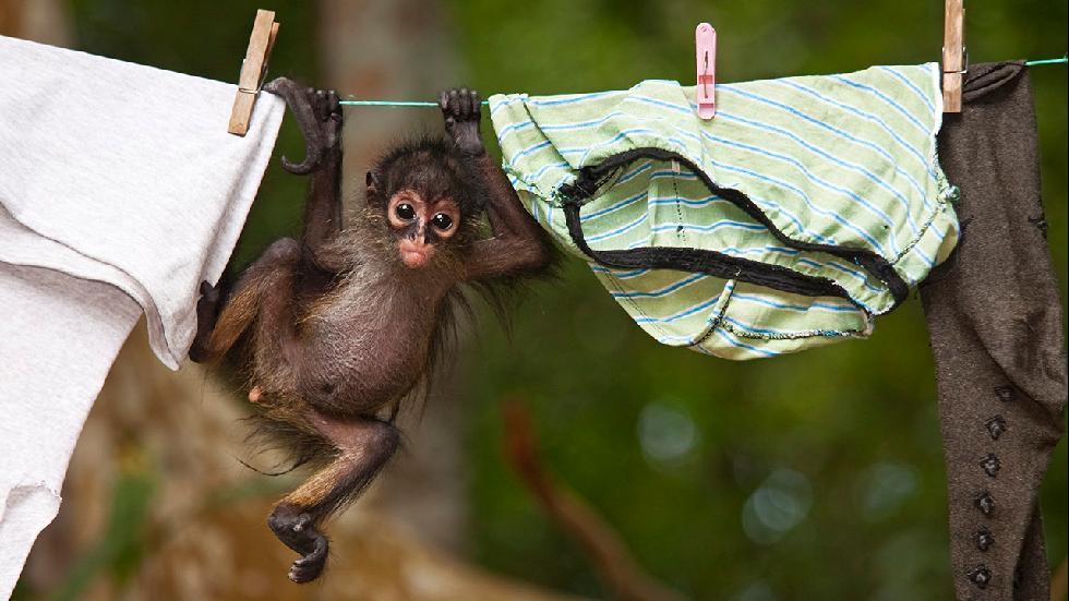 An orphaned Central American spider monkey explores a clothesline. (Claudio Contreras Koob)
