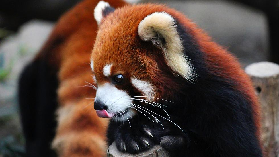 Red panda captured in the Ocean Park located in Hong Kong. (Ekaterina Grigoryeva/2015 Sony World Photography Awards)