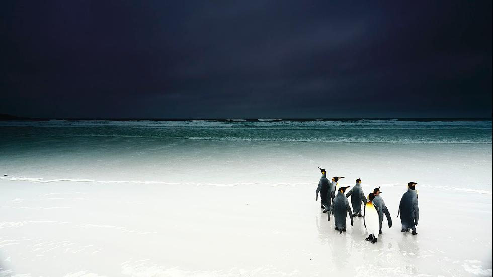 A group of king penguins wandering on the beach hesitate to go to sea on a very dark day. (Stanley Leroux)
